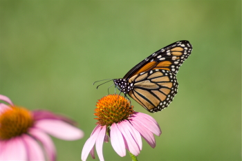 Captured Solitude - Monarch Butterfly